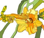 yellow lily and budsc