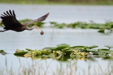 A clear photo of Lily PAds with a Limpkin interrupting