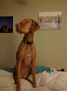 abbie the vizsla