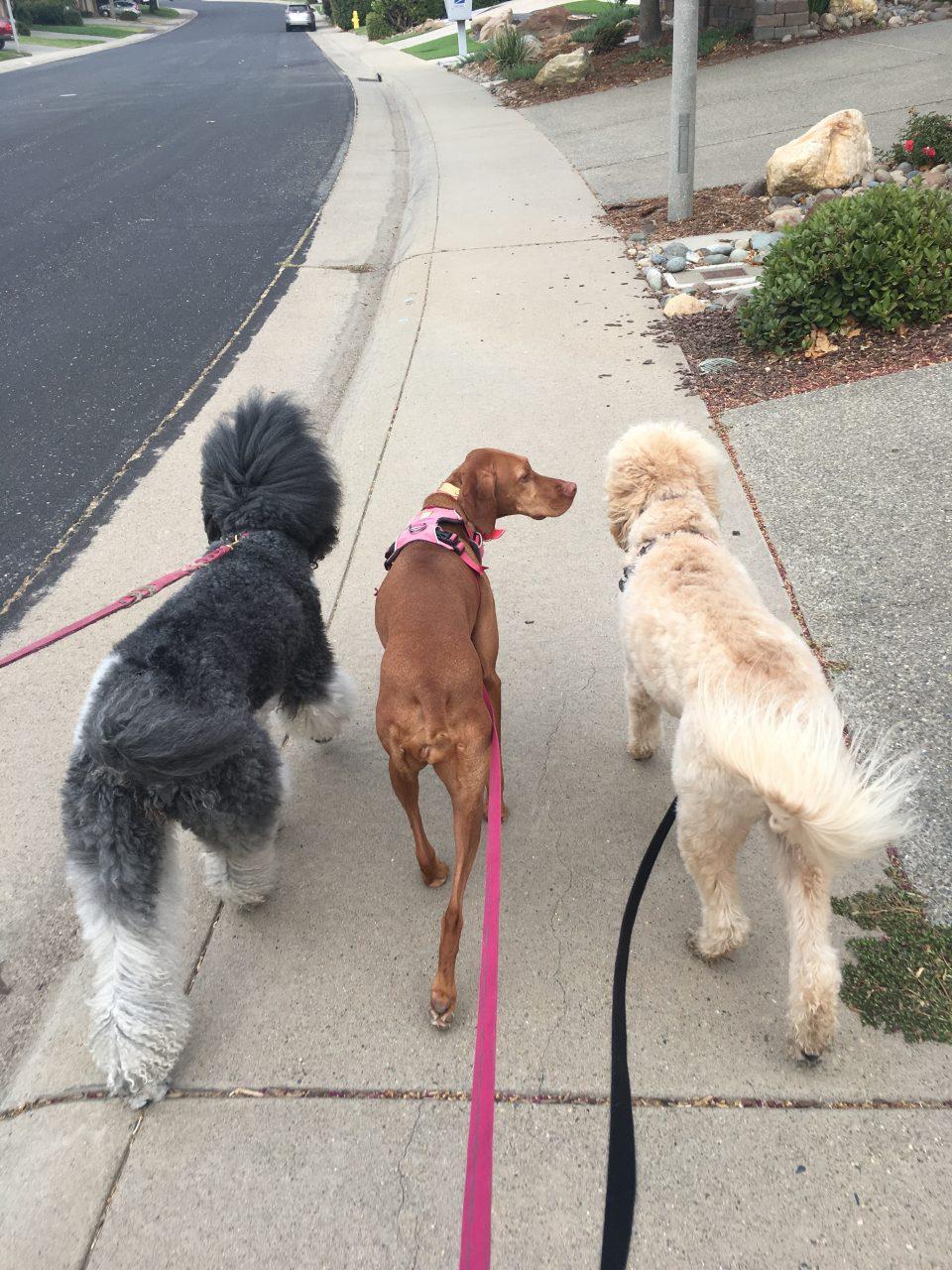 dogs poodles and vizsla