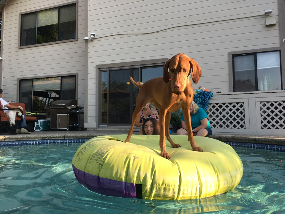 vizsla swimming