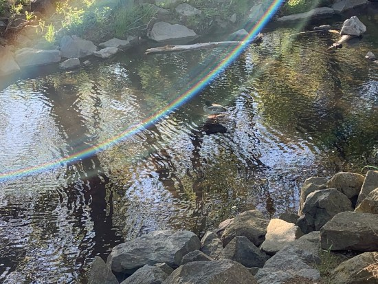 One of my ducks, bathing in the stream.
