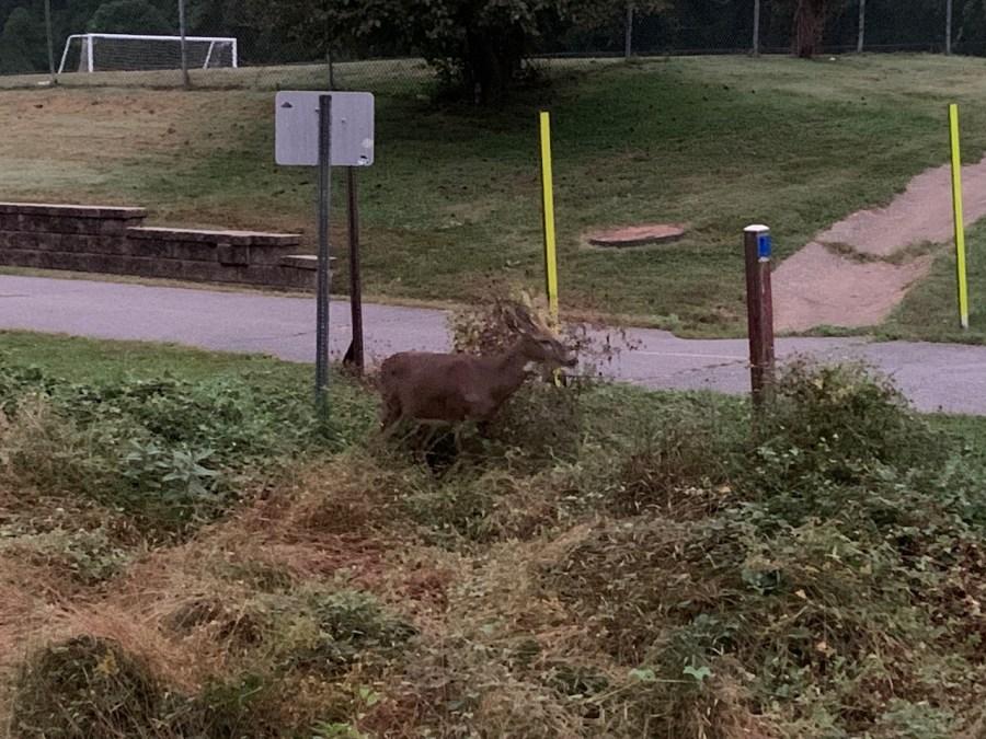 one of my morning walk companions: a buck munching on grass