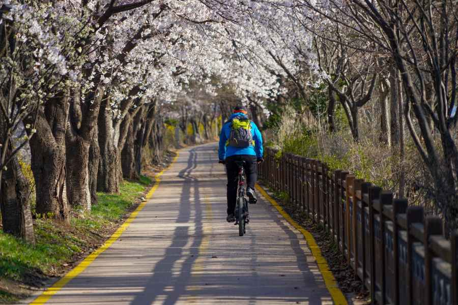 back view of a person riding a bike near the white cherry blossom trees