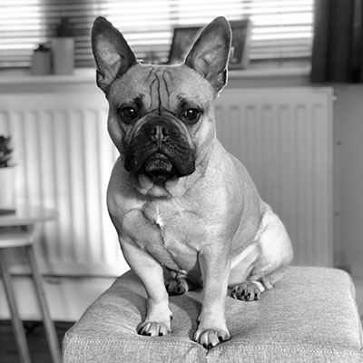 buddy-the-french-bulldog