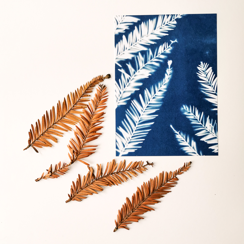 Sequoia leaf printing with the ancient technique of cyanotype or printing with the sun