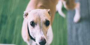 Rosie the Whippet at Jam Jar cowork