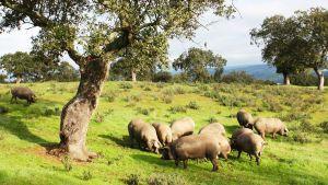 Cerdos ibéricos en el Valle de los Pedroches