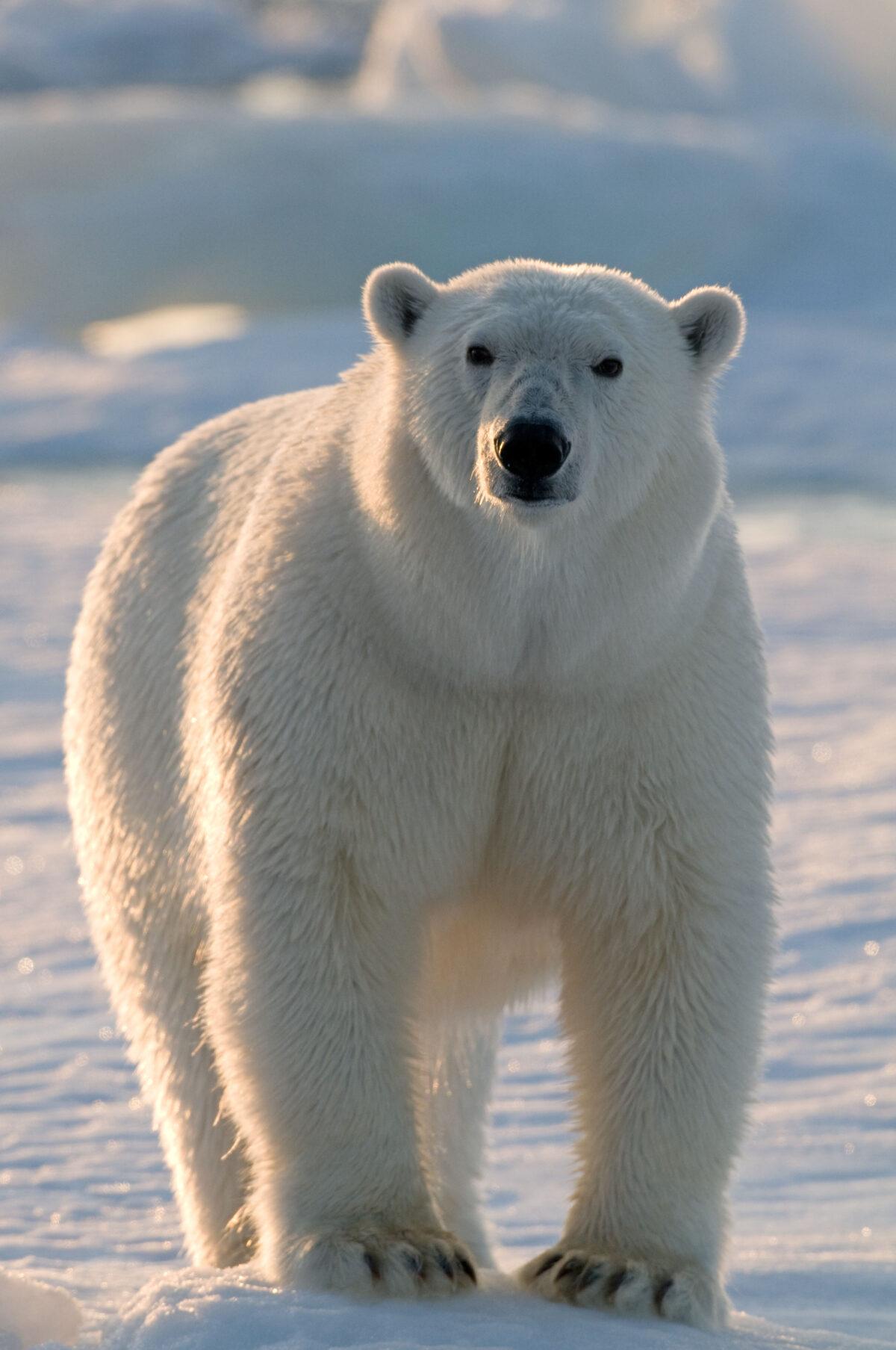 Help Arctic Home Protect The Polar Bears