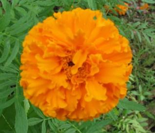 Marigold?