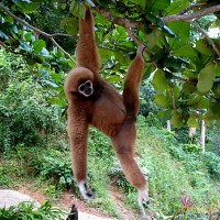 Not everyone knows about the plight of the Gibbon - Do you?