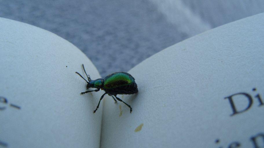 Der Umblätter-Käfer