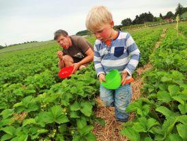 Erdbeeren zum selber pflücken und naschen