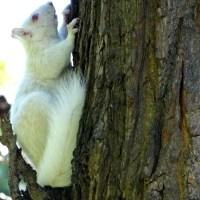 A Squirrel as White as Snow