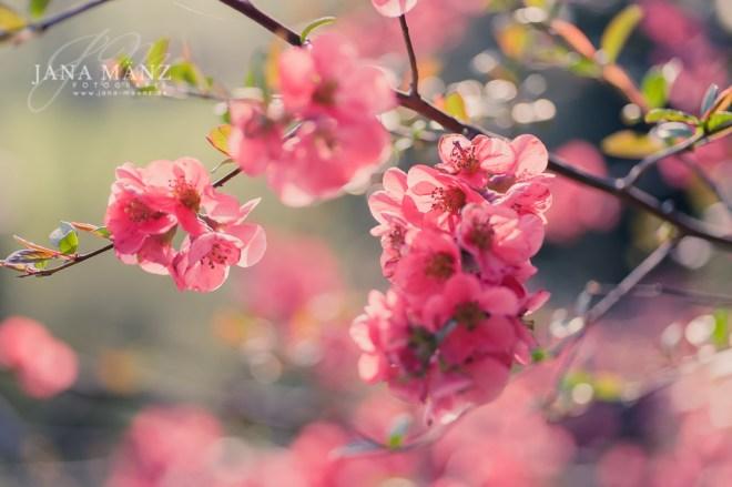 Japanische Zierquitte (Chaenomeles japonica)