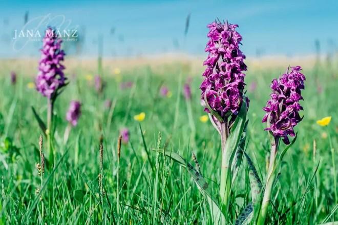 19.5. Blütenträume 2018 Jena Leutratal Orchideenwanderung 10:00 – 18:00 UhrSoviele Orchideenarten wie im Leutratal bei Jena gibt es wohl nirgendwo auf der Welt. Die Muschelkalkhänge an der Saale machen es möglich. Zusammen mit einem renommierten Orchideenführer machen wir uns auf den Weg, um die schönsten Orchideenarten mit der Kamera festzuhalten.