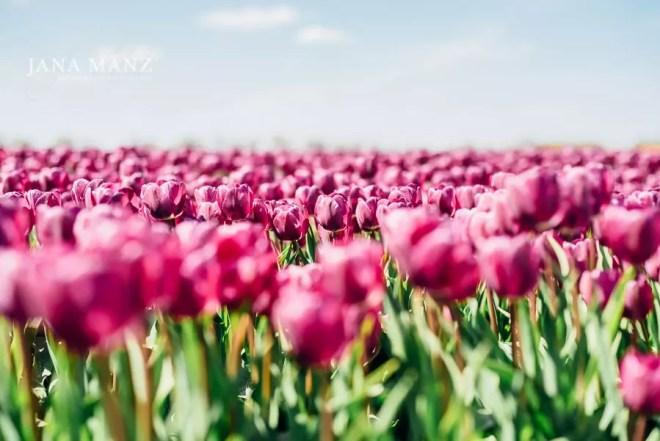 21.4. Blütenträume 2018 Tulpenblüte wie in Holland, Magdeburg 10:00 – 16:00 UhrWusstet du, das es in Deutschland ebenso große Tulpenfelder wie in Holland gibt? Nein, dann komm mit mir nach Magdeburg und wir werden die Tulpenblüte ins rechte Licht rücken. Ob als Landschaftsbild oder als Makrofotografie, die Tulpe ist ein vielfältiges Modell.