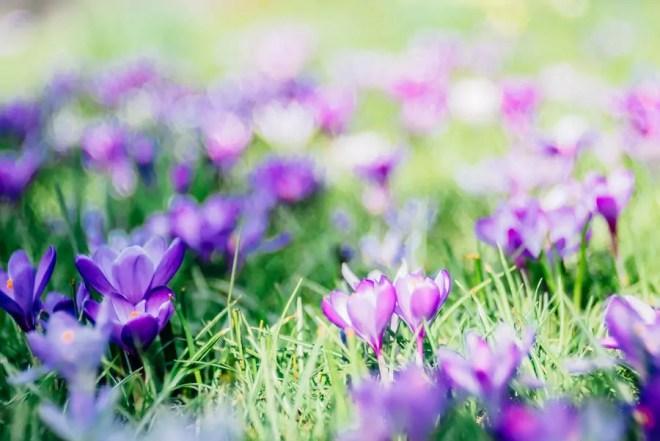Blumen, Botanischer Garten, Frühjahrsblüher, Frühling, Krokus, Leipzig, Trioplan 100 f2.8, Vintage-Objektiv, Vintagelense, meyer-optik-goerlitz