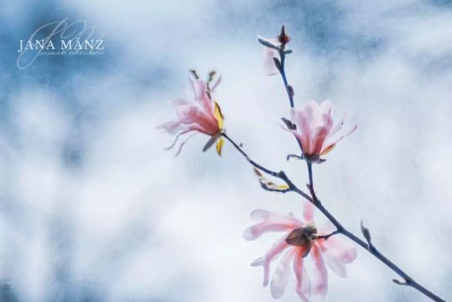 Blüte, Frühling, Magnolie, Muldental, Trioplan, Trioplan 100 f2.8, Vintage-Objektiv, Vintagelens, meyer-optik-goerlitz