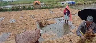 गुल्मीमा डेढ करोडको धान क्षति