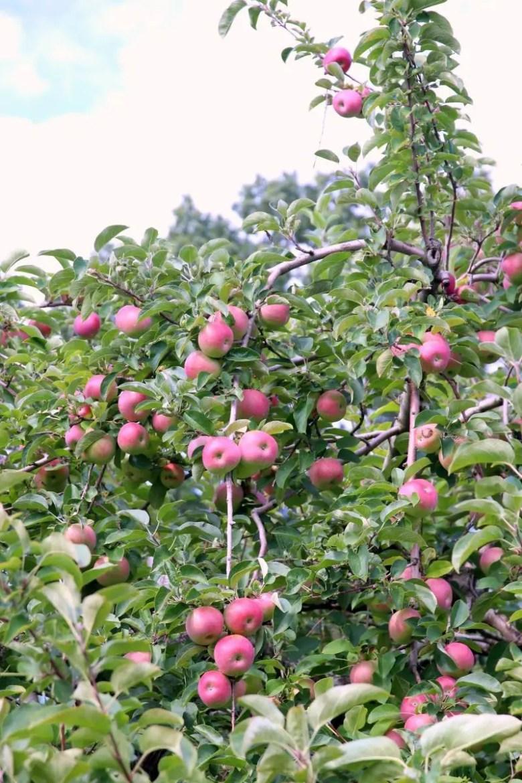 Apple Picking at Dr. Davies Farm New York State Travel | janavar