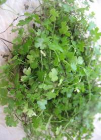 Carpet Aquarium Plants  janbucblog