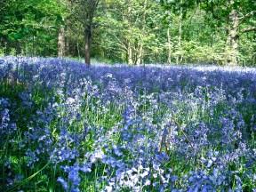 9 bluebells