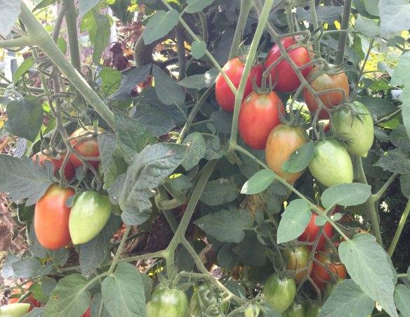 tomatoesvine2