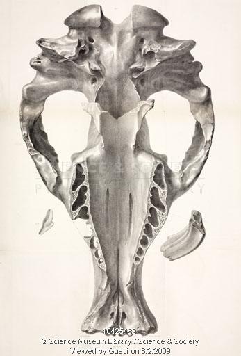 Skull of toxodon platensis, 1832-1836, George Scharf
