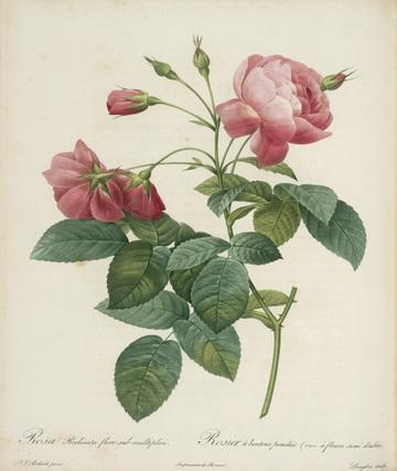 Rosa gallica_maheka from Redoute's Les Roses 1817-1824 Huntington Library