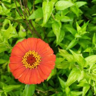 Flowers in the community garden
