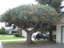 Dragon Tree, Full