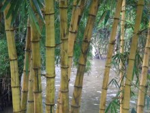 bamboo by the river
