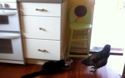 Cat and chicken sharing breakfast