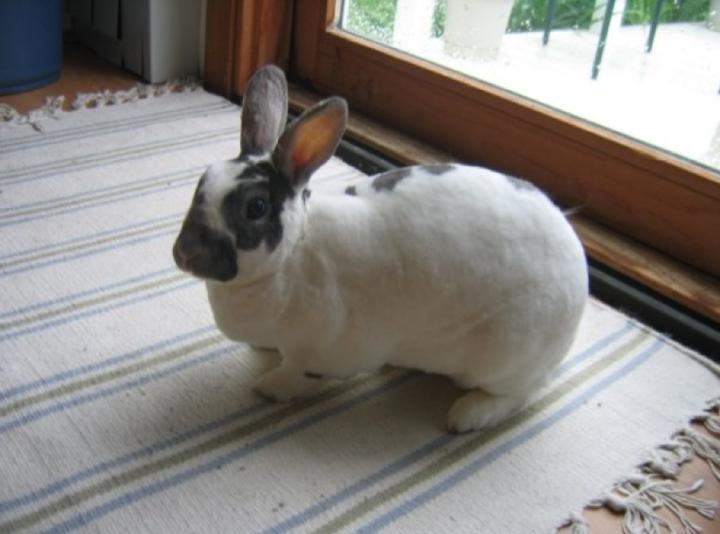 A white rabbit with black splotches