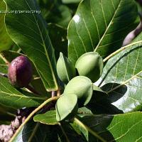 Beach Almond - use it for: liver diseases, dermatitis, dysentery, diarrhea & cancer