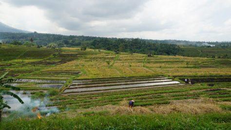 Arbeit auf den Reisterassen