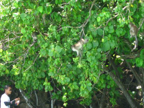 Affenfütterung am Monkey Beach
