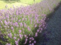 Lavender Border