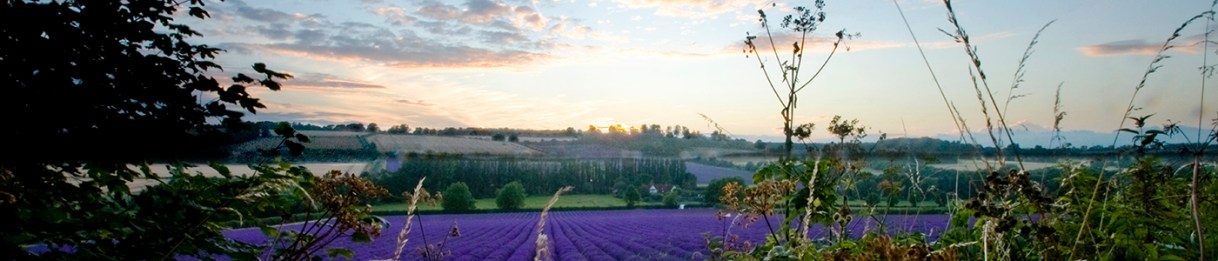 Photograph of the view looking across fields of lavender on a farm in the Kent countryside, with a sunset sky, by Jane Mucklow Photography