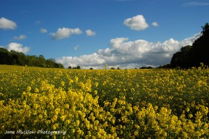 View across the yellow rape flowers, under a blue sky, taken near Shoreham, Sevenoaks, photo by Jane Mucklow Photography