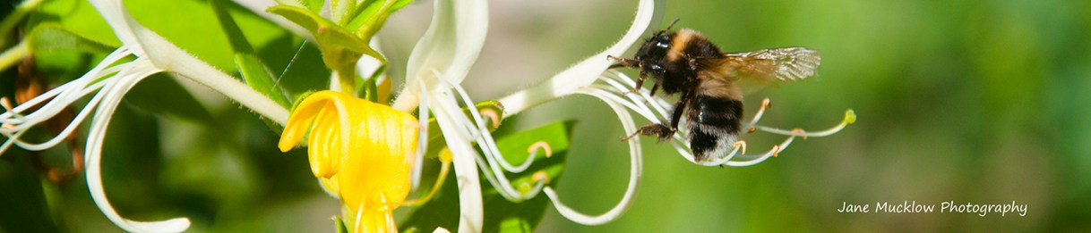 Photo of a bee about to land in a honeysuckle flower, by Jane Mucklow
