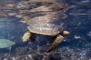 【夏威夷-Maui】 與海龜共游的夢幻體驗,私房景點茂宜島Makena Landing Park