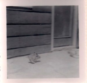 Baby jack rabbit copy