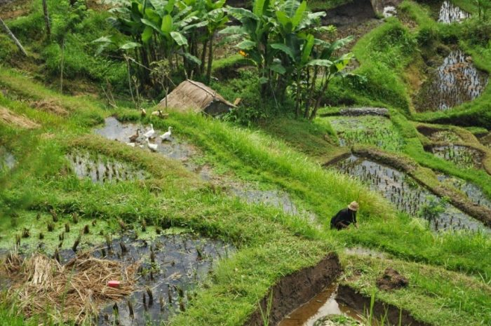 Choosing Green Terrace Rice Fields Bali Indonesia