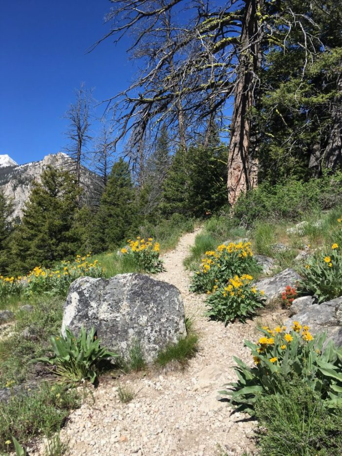 Arrowleaf balsamroot hiking in the Sawtooth Mountain Range