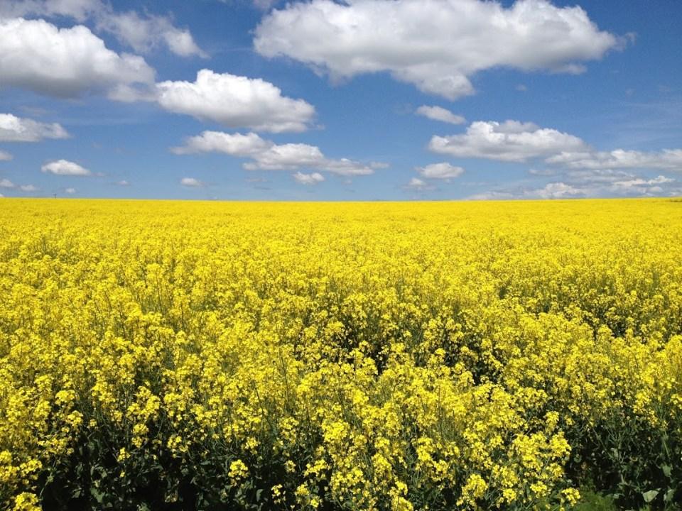 yellow field in Idaho, blue skies