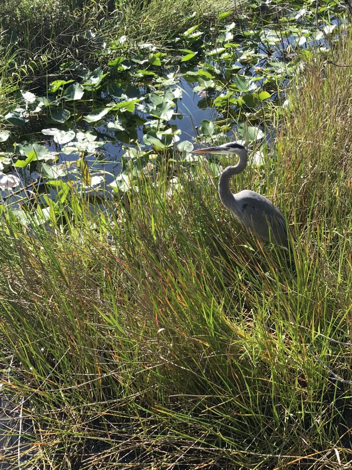 Crane in Everglades National Park
