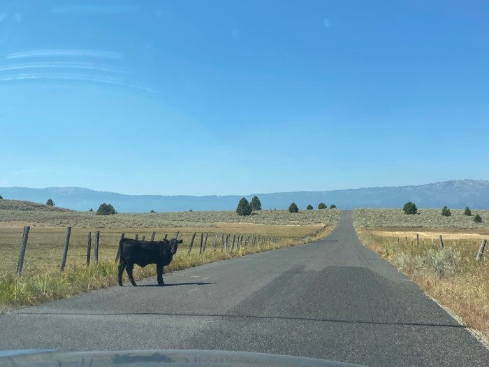 cow on the road in Idaho