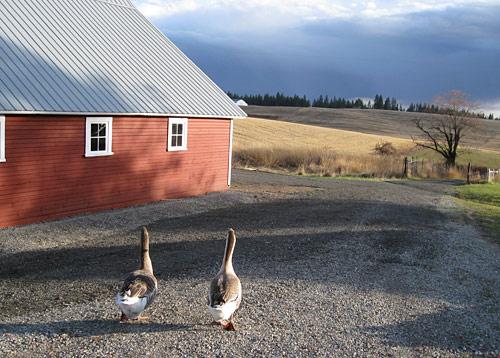 geese-longroad_1373